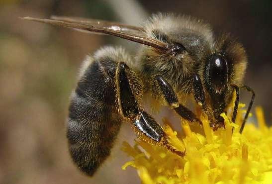 Native Honey Bees