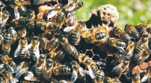 colonsaybees