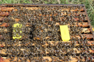Fig. 4 Shows a new (empty) cage on the right that is ignored, dead fertile queens on the left with a bit of attention and one fertile queen in the middle with most attention. You can see the cage the bees preferred. If the centre cage was removed, I suspect the left hand cage would have more attention