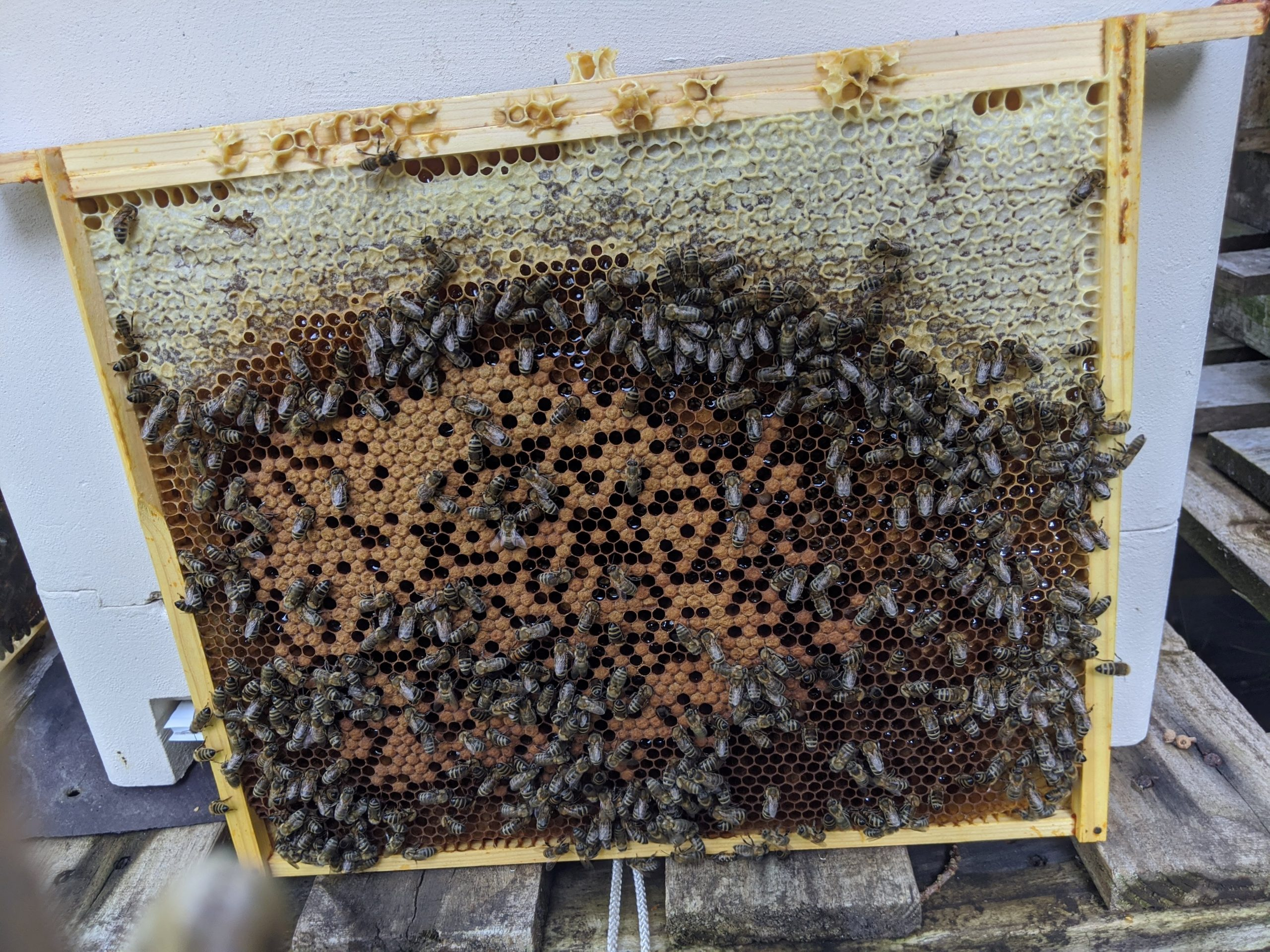 A frame of brood with nurse bees attending