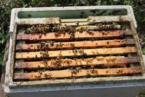 A nucleus that has come through the winter so strongly that the bees have built comb in a space.